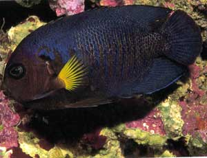 Centropyge flavipectoralis