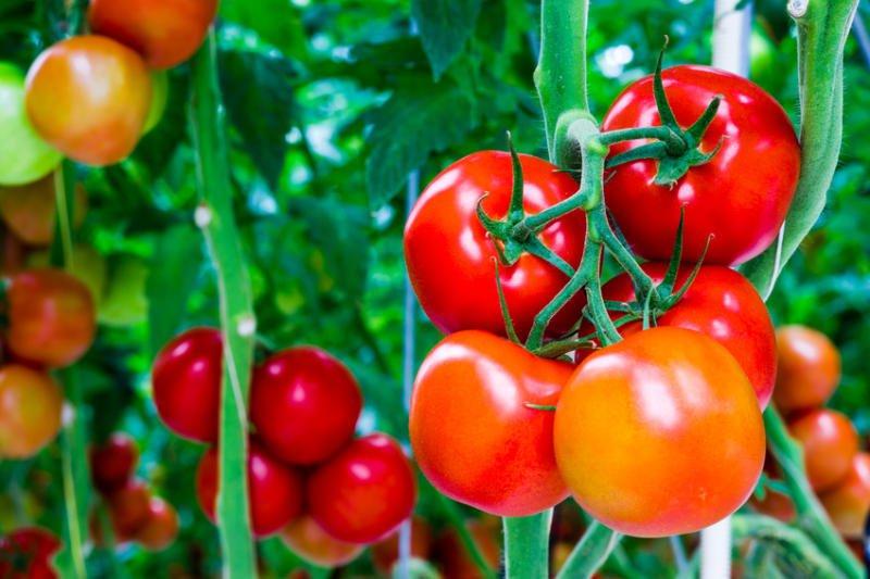 Cum sa cresteti rosii in gradina, Foto: banmuadocu.net