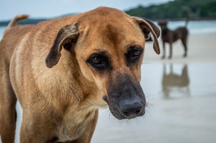 Dirofilarioza canină sau infecția cu viermi cardiaci, vezi care sunt simptomele și metodele de tratament