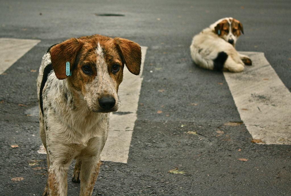 Dirofilarioza canină sau infecția cu viermi cardiaci