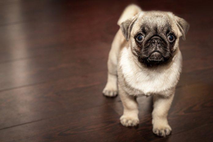 Câteva aspecte interesante despre simțurile câinelui și dezvoltarea acestora