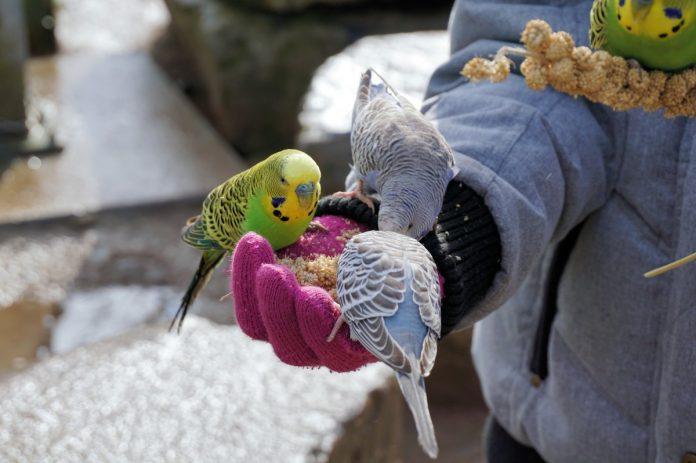 Cum hrănim în mod corect papagalii și ce fel de nutriente au nevoie