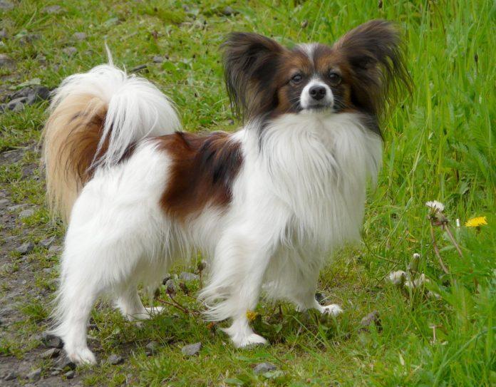 Rase de câini Papillon (Continental Toy Spaniel), cu un temperament jucăuș și foarte sociabili