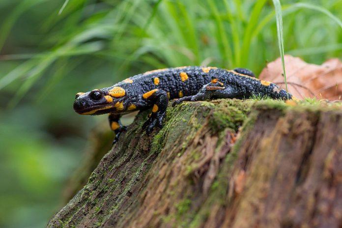 Vezi ce legende se povestesc despre salamandra de foc (Salamandra salamandra)