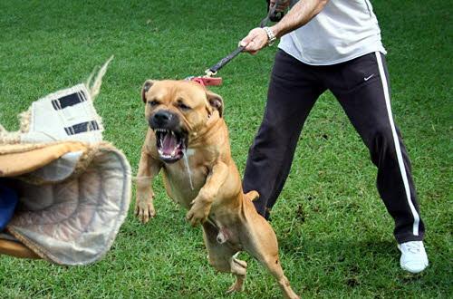 Antrenamente pentru paza la caini - Muscatura pe mansonul de protectie, Foto: carpatys.com