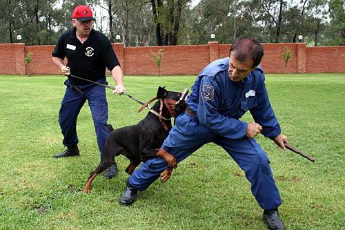 Antrenamente pentru paza la caini cu instructori si echipament de protectie, Foto: carpatys.com