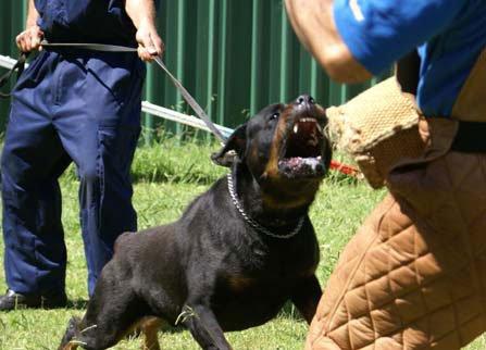 Antrenamente pentru paza la caini facute de instructor si asistentul acestuia, Foto: carpatys.com