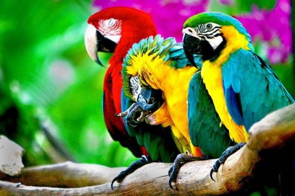 Papagali, Foto: birdsgallery.net