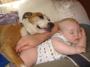 Pit Bull dormind, Foto:carpatys.com