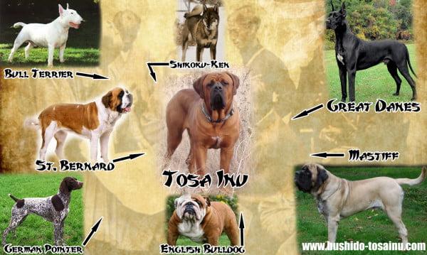 Tosa-Inu si alte rase de caini, Foto: bushidotosainu.com