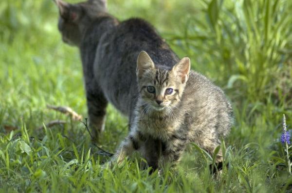 Imunodeficienta felina
