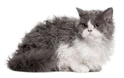Pisica Selkirk Rex cu blanita alb-cenusiu, Foto: cattime.com