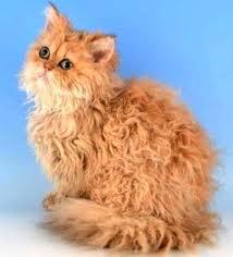 Pisica Selkirk Rex cu blanita maronie, Foto: kucing.biz