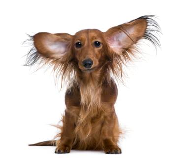 Boli infectioase la ureche – Otita medie la caine, Foto: speakingforspot.com