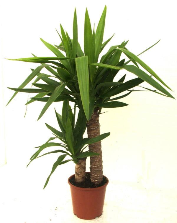 Planta de apartament yucca recunoscut pentru frumuse ea for Planta yuca exterior