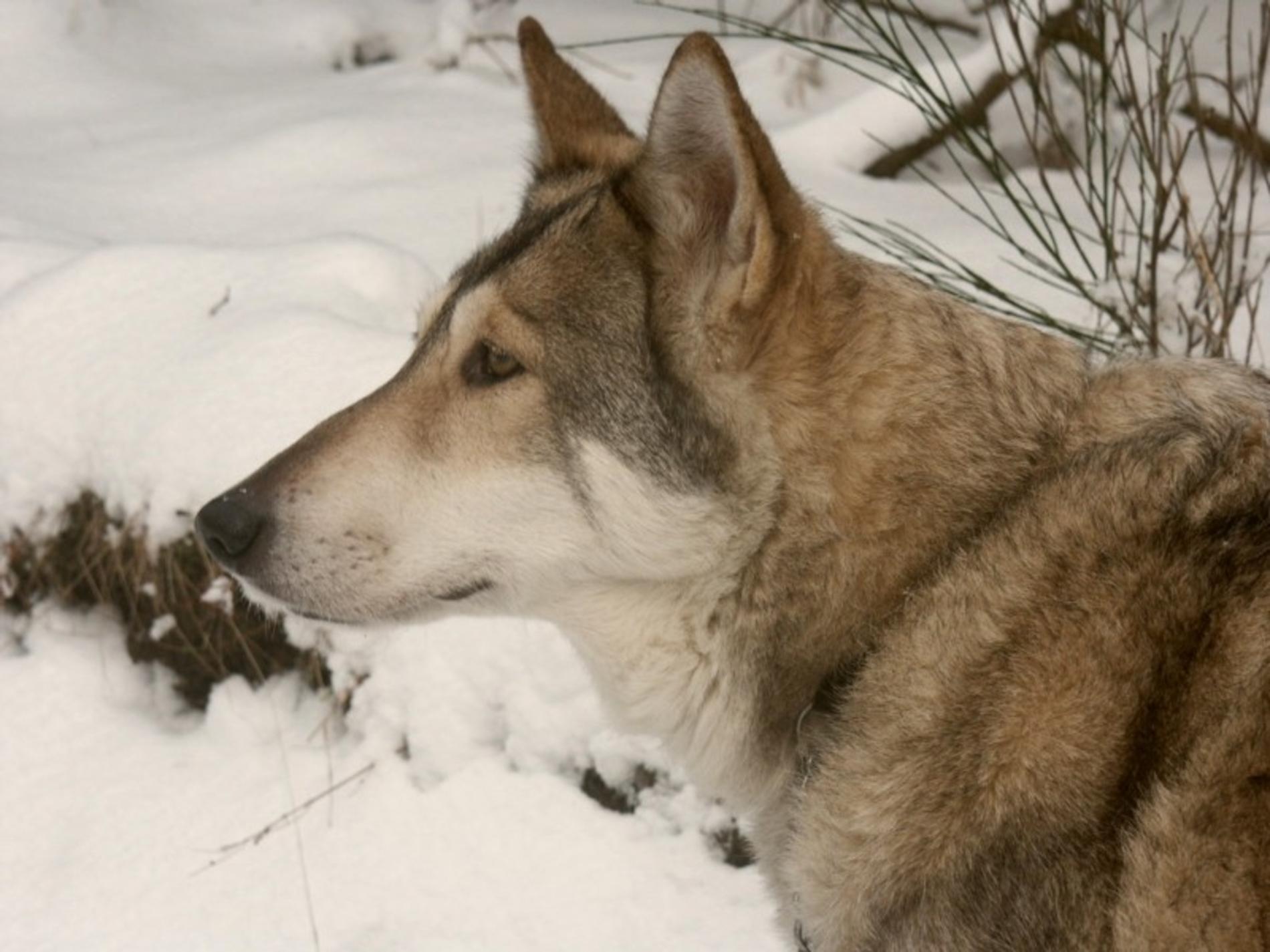 Saarloos Wolfdog, Foto: free-pet-wallpapers.com
