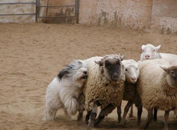 Cainele Ciobanesc Polonez de Campie folosit la paza turmelor de oi, Foto: free-pet-wallpapers.com