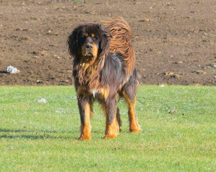 Câinele ciobănesc de pază și apărare Mastiff Tibetan - cel mai scump câine din lume