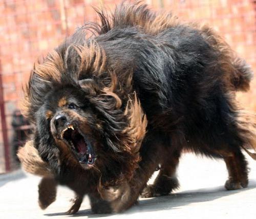Mastiff Tibetan cu blana neagra, Foto: reynard-news.blogspot.com