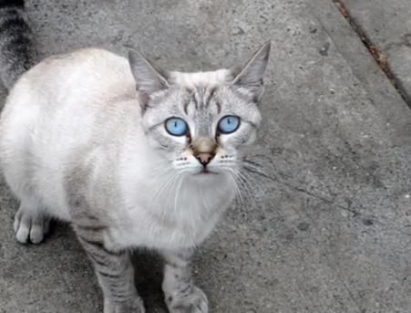Rase de pisici - Ojos Azules