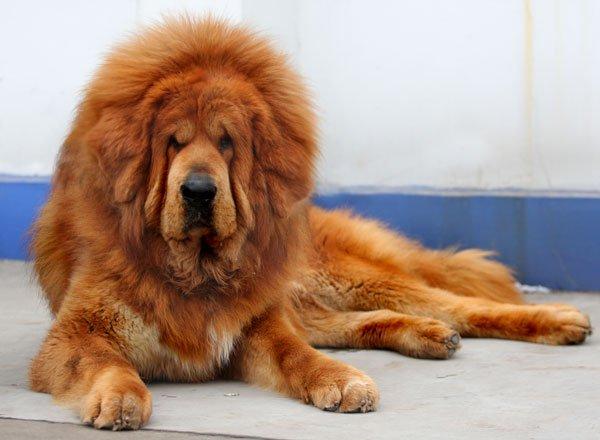 Rase de caini - Mastiff Tibetan, Foto: reynard-news.blogspot.com