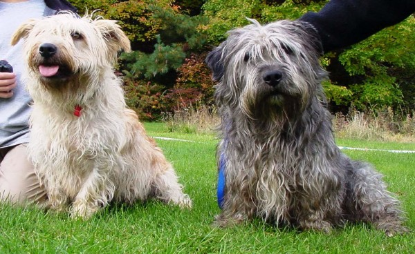 Glen of Imaal Terrier, Foto: aboutdogglenofimaalterrier.blogspot.ro