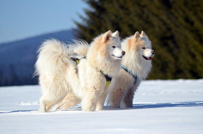 Care sunt cele mai bune rase de câini de sanie și ce caracteristici trebuie să aibă acestea