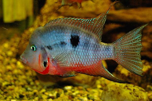 Peste de acvariu Cichlasoma meeki, Foto: sexyblackrocktattoo.blogspot.ro