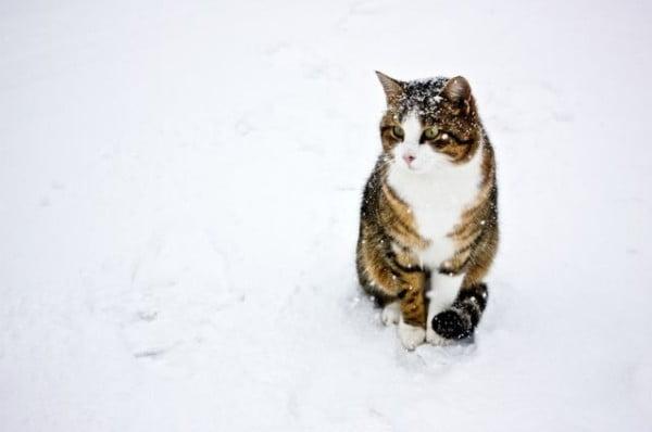 Pisica poate raci iarna mai ales daca are imunitatea scazuta, Foto: izismile.com