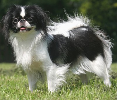 Spaniel Japonez, Foto: gambar-anjing.blogspot.ro