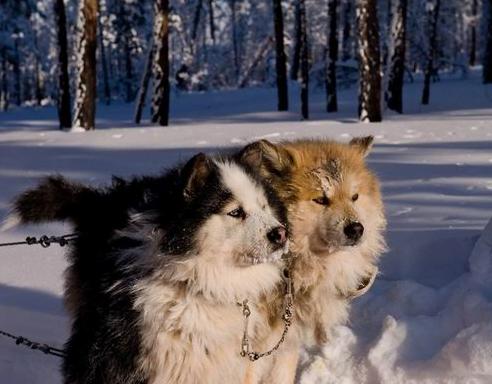 Yokutia Siberian, Foto: siberianhuskies.co