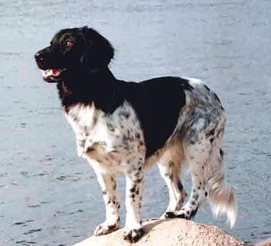 Rasa de caini Stabyhoun, Foto: dog-picturesonline.blogspot.ro