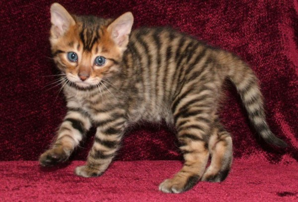 Toyger, Foto: free-pet-wallpapers.com
