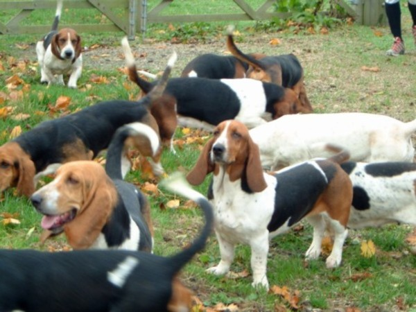 Basset Normand Artesian, Foto: pedigreedogsexposed.blogspot.ro
