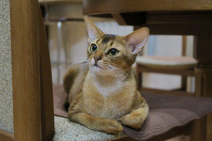 Abissiniana - Rase de pisici de culori diferite, puternice și flexibile