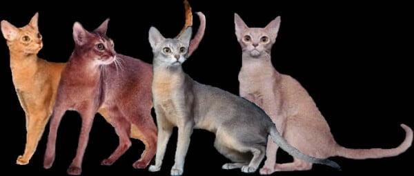Rase de pisici - Abissiniana, Foto: zuriabys.tripod.com
