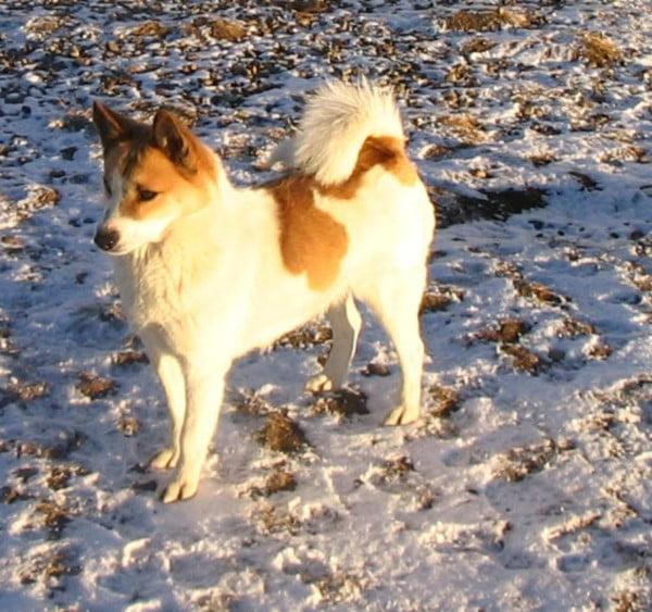 Câinele Norrbottenspets, Foto: free-pet-wallpapers.com