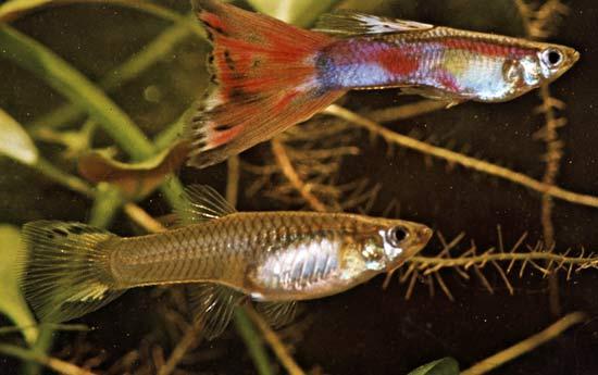 Pești de acvariu - Lebistes reticulatus sau guppi, Foto: merriam-webster.com
