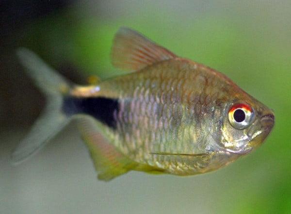 Hemigrammus Pulcher sau peștele nestemat, Foto: free-pet-wallpapers.com
