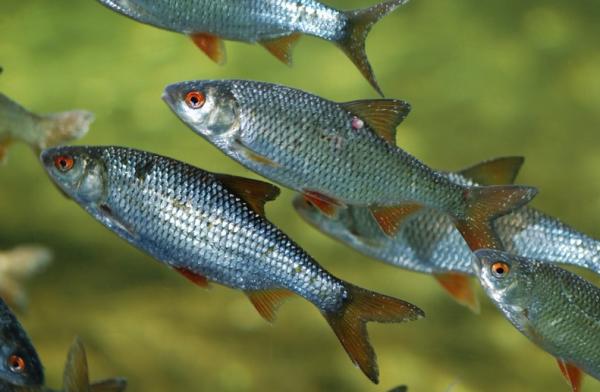 Pești de cârd - Babușca, Foto: biopix.eu