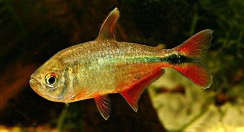 Hemigrammus caudovittatus, Foto: fishbase.dk