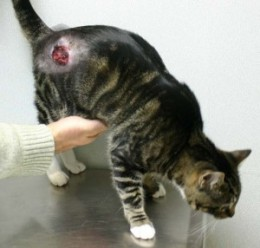 Abcese la pisici, Foto: hubpages.com