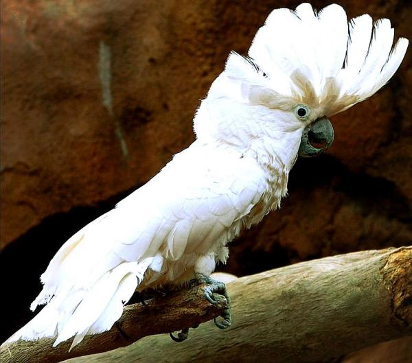 Cacatua alba, Foto: free-pet-wallpapers.com