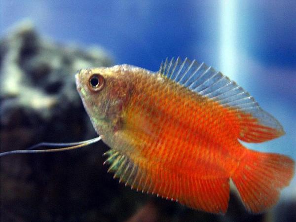 Pești de acvariu - Colisa Lalia, Foto: free-pet-wallpapers.com