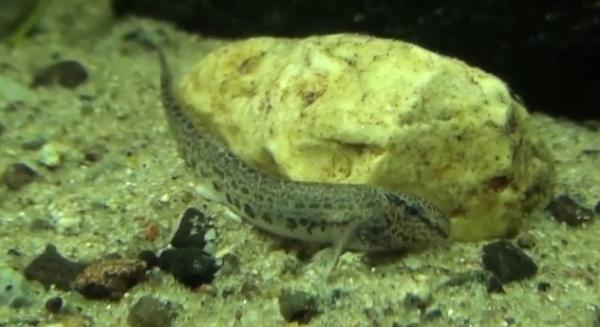 Zvărluga, pește de acvariu