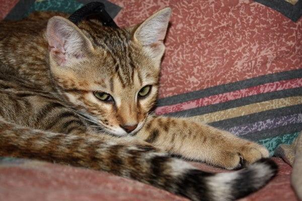Rase de pisici - Cheetoh , Foto: markgchurchill.blogspot.ro