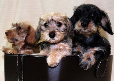 Rase de câini - Teckel cu păr sârmos, Foto: thedogwallpaper.com