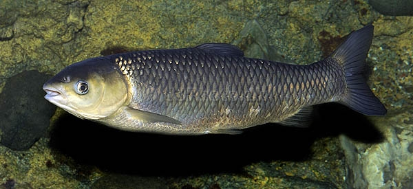 Amurul alb (Ctenopharyngodon idella), Foto: pecesornamentalesmarinodulce.blogspot.ro