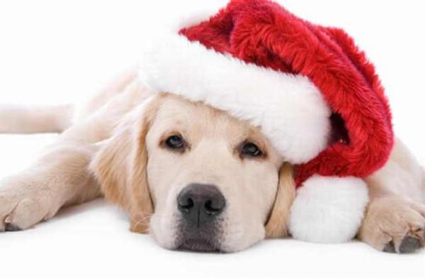 Căciulă de Moș Crăciun pentru labrador, Foto: ba-bamail.com