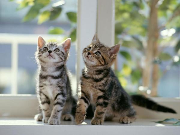 Pisici, animale de companie, Foto: free-pet-wallpapers.com